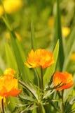 Globeflower. Flor. Fotografía de archivo
