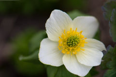 Globeflower in Glacier National Park. A white and yellow globeflower, a wildflower in the Buttercup family, growing in Glacier National Park in Montana royalty free stock images