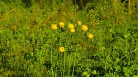 Globeflower på taigaskogen arkivfilmer