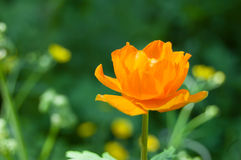 Globeflower in Siberia. Orange flowers on a green background. Stock Photos