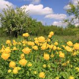 Globeflower Stock Image