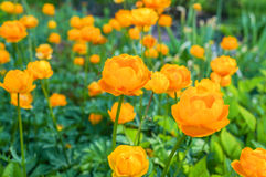 The globeflower Trollius blooms in the spring on a meadow Stock Images