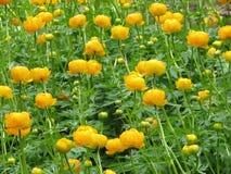 Globeflower - Trollius chinensis Imágenes de archivo libres de regalías