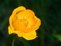 Globeflower or Trollius europaeus flower macro with bokeh background, selective focus, shallow DOF.  Royalty Free Stock Image