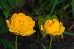 Globeflower or Trollius europaeus flowers macro with bokeh background, selective focus, shallow DOF.  Stock Images