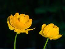 Globeflower or Trollius europaeus flowers macro with bokeh background, selective focus, shallow DOF.  Stock Photography