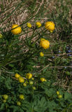 Globeflower (Trollius europaeus) Stock Photography
