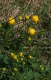 Globeflower (Trolliuseuropaeus) arkivbild