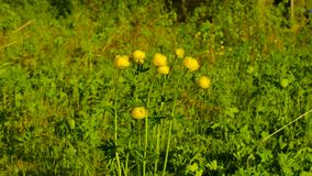 Globeflower - Trolliuseuropaeus L arkivfilmer