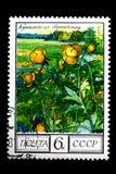 Globeflower stock photography