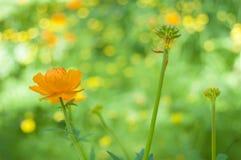 Globeflower Wildflower arancio nel legno Fondo verde Immagini Stock Libere da Diritti