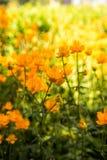 Globeflowers em um parque, fundo dourado brilhante fotos de stock royalty free