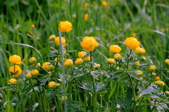 Globeflowers europeos Foto de archivo