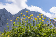 Globeflowers in front of mountain range Karawanks in Austria Royalty Free Stock Images