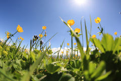 Globeflowers and green grass under blue sky. Beautiful globeflowers and green grass under blue sky Stock Photos