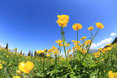 Globeflowers and green grass under blue sky. Beautiful globeflowers and green grass under blue sky Stock Photo