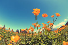 Globeflowers and green grass under blue sky. Beautiful globeflowers and green grass under blue sky Royalty Free Stock Image