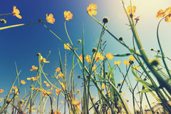 Globeflowers and green grass under blue sky Royalty Free Stock Photography