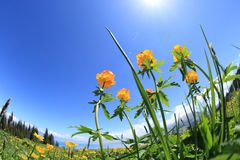 Globeflowers and green grass under blue sky. Beautiful globeflowers and green grass under blue sky Stock Images