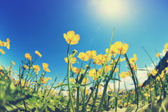 Globeflowers and green grass under blue sky Stock Photo