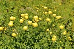 Globeflowers nelle alpi francesi Immagini Stock Libere da Diritti