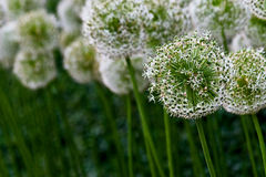 Globemaster. View of a cluster of Aliums Stock Photos