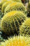 Globes de cactus de désert Images libres de droits