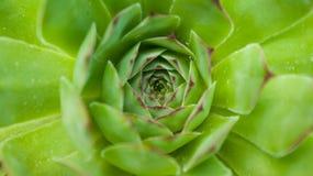 Globifera di Jovibarba, bello fiore mai verde Immagini Stock