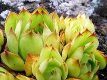 Globifera Jovibarba, globiferum Sempervivum стоковое изображение