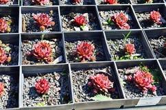 Globiferum Sempervivum Στοκ φωτογραφία με δικαίωμα ελεύθερης χρήσης