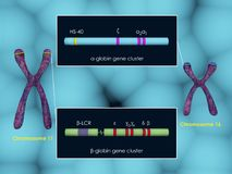 Globin gene clusters. 3d illustration of a-globin and b-globin gene clusters Royalty Free Stock Photography