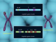 Globin genu grona ilustracja wektor