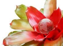 Globo de florecimiento maduro Imágenes de archivo libres de regalías