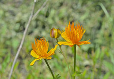 Globo-fiore (trollius chinensis) Immagine Stock Libera da Diritti