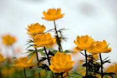 Globo-flor alaranjada Fotografia de Stock Royalty Free