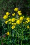 Globo-flor europea (lat Llius del ³ de TrÃ) Foto de archivo