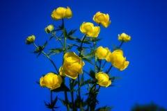 Globo-flor europea (lat Llius del ³ de TrÃ) Foto de archivo libre de regalías