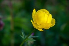 Globo-flor europea (lat Llius del ³ de TrÃ) Fotografía de archivo libre de regalías