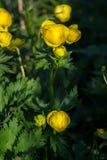 Globo-flor europea (lat Llius del ³ de TrÃ) Fotos de archivo