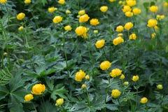 A globo-flor europeia Carélia Rússia Fotografia de Stock Royalty Free