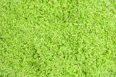 Globosa de Wolffia ou algue d'eau douce, repas de l'eau, algues de marais, vertes image stock