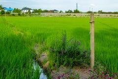 Globosa do Gomphrena e goyazensis Benth de Angelonia no fie do arroz Imagens de Stock