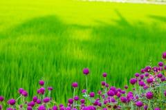 Globosa do Gomphrena no campo do arroz Imagens de Stock