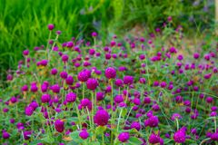 Globosa do Gomphrena no campo do arroz Fotografia de Stock Royalty Free