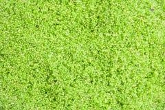 Globosa do Wolffia ou alga da água fresca, refeição da água, algas do pântano, verdes imagem de stock
