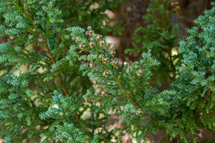 Globose seed cones of Fitzroya cupressoides, cypress conifer tre Stock Photography
