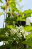 Globra Ktze de Vallaris da flor do pão Fotografia de Stock