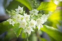 Globra Ktze de Vallaris da flor do pão Fotos de Stock