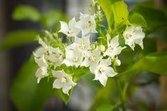 Globra Ktze de Vallaris da flor do pão Imagem de Stock