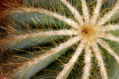 Globular cactus. Close-up of a notocactus magnificus Royalty Free Stock Image